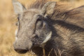 Close up warthog wildlife animal portrait of hair facial detail looking at camera lens in the game reserve park in zululand south Royalty Free Stock Image