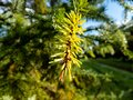 Close up of water drops on evergreen pine needles early in the morning after rain Royalty Free Stock Photo