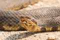 Close up of water moccasin with mouth open and fangs exposed Royalty Free Stock Photo
