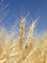 Close up of wheat. Royalty Free Stock Photo