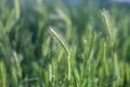Close up of wheat on green soft nature background Stock Photo