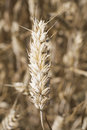 A close-up of wheat kernel Stock Photography