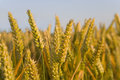Close up of wheat stalk Royalty Free Stock Photo