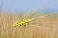 Close-up of wheat straw in the field Stock Photos