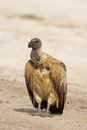 Close up of white backed vulture gyps africanus Stock Photography