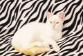 Close-up of a white cat with red spots and blue eyes. White Angora cat on a black-white background. cat close up Royalty Free Stock Photo