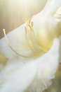 Close up white daylily with sunflare in the garden by evening light Stock Photo