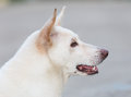 Close up of white dog watch Royalty Free Stock Photo
