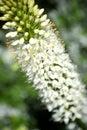 Close up White Eremurus flowers