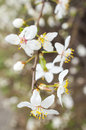 Close up of white flowers from a tree in the spring season Royalty Free Stock Image
