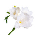 Close up of white freesia Royalty Free Stock Photography