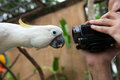 Close Up On A White Parrot