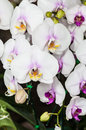 The close up of white Phalandopsis orchid Stock Images