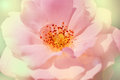 Close up of white rose bloom with stamen and pollens. Royalty Free Stock Photo