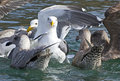 Close up white seagull in flock on water of a determined a the Royalty Free Stock Photos