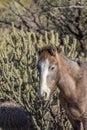 Wild Horse Portrait in the Arizona Desert