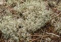 Close up of wild Reindeer Lichen Cladonia Rangiferina Royalty Free Stock Photo