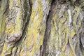 Close up willow tree bark Royalty Free Stock Photo