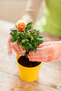 Close up of woman hands planting roses in pot Royalty Free Stock Photo