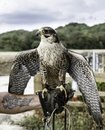 Falcon ready for action Royalty Free Stock Photo
