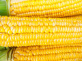 Close up yellow corn a fresh bakground Stock Images