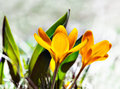 Close up yellow crocus spring Royalty Free Stock Photo