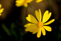 Close up of A Yellow Daisy. Royalty Free Stock Photo