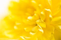 Close up yellow flower aster daisy Royalty Free Stock Image