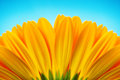 Close-up of yellow gerbera daisy backside isolated on blue Royalty Free Stock Photo