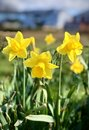 Daffodill Royalty Free Stock Photo