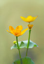 Close up yellow marsh marigold kingscup neutral background Royalty Free Stock Photo