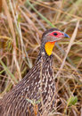 Close-up of the Yellow-necked Spurfowl Royalty Free Stock Photos