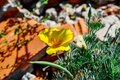 Close-up of a yellow-orange Eschscholzia californica flower growing among stones and bricks. Beautiful floral background with Royalty Free Stock Photo