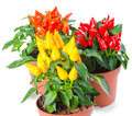 Close up yellow, red, orange hot chili peppers in pot is isolate Royalty Free Stock Photo
