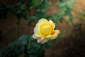 Close-up of yellow rose Royalty Free Stock Photo
