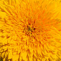 Close-up of yellow sunflower Royalty Free Stock Photography