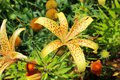 Close-up of yellow tiger lily in the garden Royalty Free Stock Photo