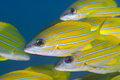 Close up of yellow tropical fish. Royalty Free Stock Images
