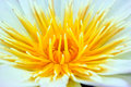 Close up of yellow water lily Stock Photography