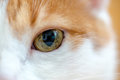 Close up of yellow wide open eye ginger cat Royalty Free Stock Photo