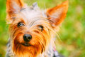 Close Up Yorkshire Terrier On Green Grass Royalty Free Stock Photo