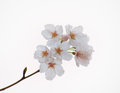 Close up of yoshino cherry blossoms in the sky background Royalty Free Stock Photo