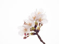 Close up of yoshino cherry tree blossom in full bloom Royalty Free Stock Photos