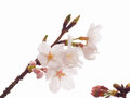 Close up of yoshino cherry tree blossom in full bloom Stock Images