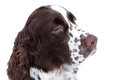Close up  young english springer spaniel Royalty Free Stock Photo