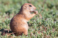 Close-up of young prairie dog in summer Royalty Free Stock Photo