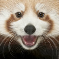 Close-up of Young Red panda or Shining cat Royalty Free Stock Photo