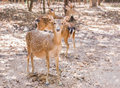 Close up young sika deers or spotted deers or Japanese deers Cervus nippon Royalty Free Stock Photo