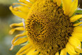 Close Up Young Sunflower Bloss...