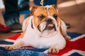 Close Up Young White English Bulldog Dog Royalty Free Stock Photo